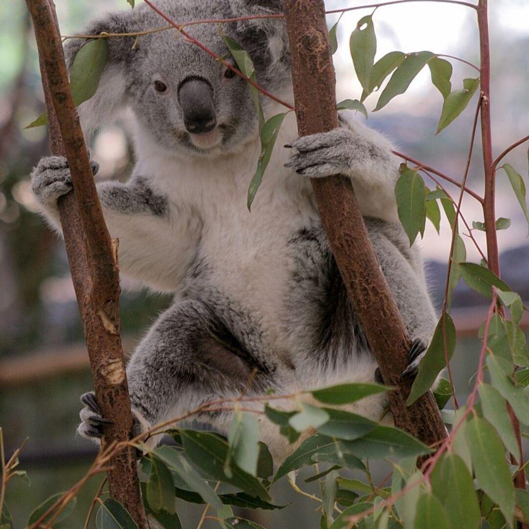currumbin-wildlife-joey